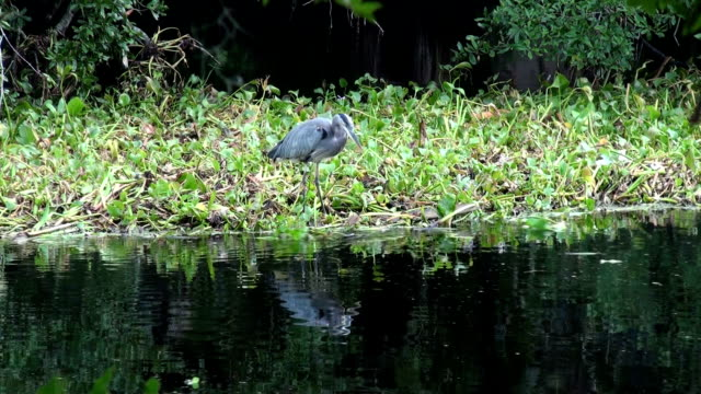 blue heron on water hyacinth checks the river for food - hyacinth stock videos & royalty-free footage