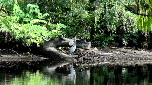 blue heron standing alertly at edge of river - great blue heron stock videos and b-roll footage