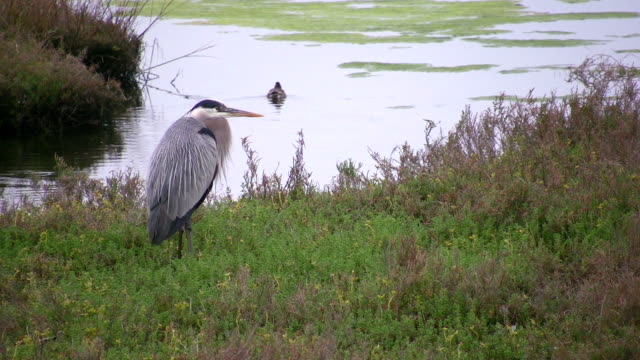 ws blue heron standing near pond as duck swims by in bolsa chica ecological reserve / huntington beach, california, usa - huntington beach california stock videos and b-roll footage