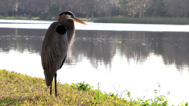 blue heron - bunter reiher stock-videos und b-roll-filmmaterial