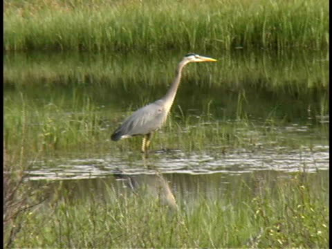 ms, blue heron wading in water, usa - reed grass family stock videos and b-roll footage