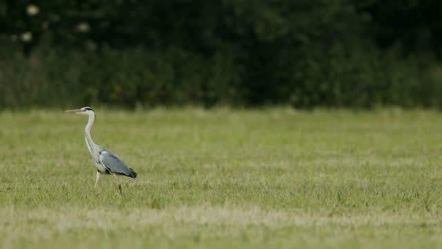 blue heron walking through a field - heron stock videos & royalty-free footage