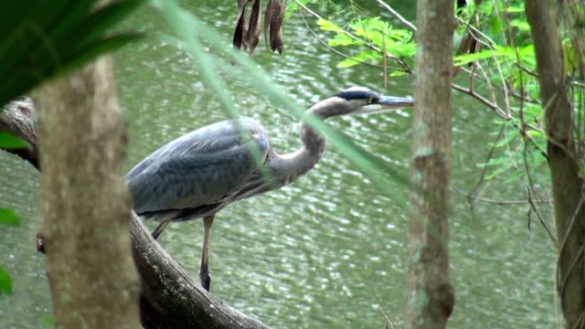 blue heron watching the river from a perch - great blue heron stock videos and b-roll footage