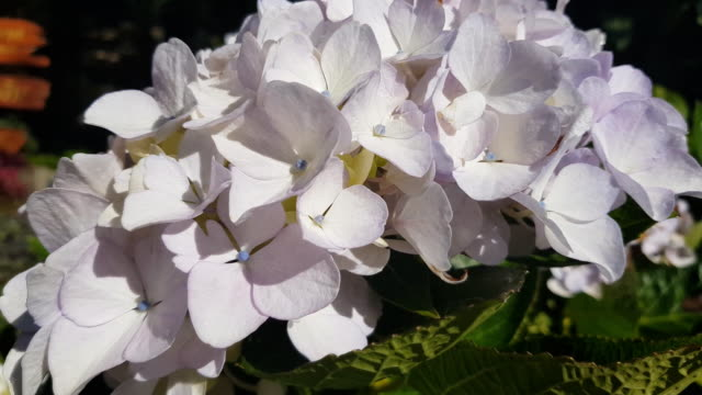 blue hydrangea (hydrangea macrophylla) or hortensia flower with dew in slight color variations ranging from blue to purple - liscio video stock e b–roll