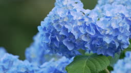 Blue hydrangea swaying in wind, close up