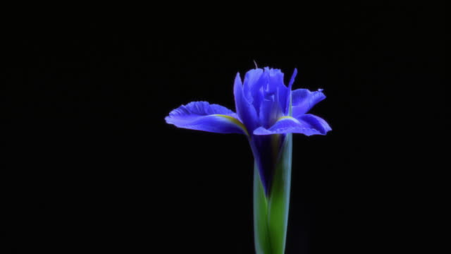 T/L, CU, blue iris opening and wilting