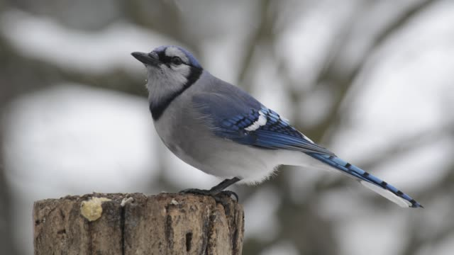 Blue jay and starling