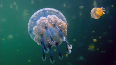 blue jellyfish swimming underwater - poisonous stock videos & royalty-free footage