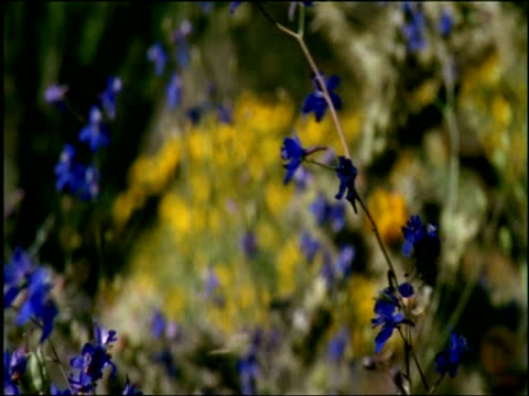Blue Larkspur (Delphinium) swaying in breeze and desert estabs, Sonoran desert, USA