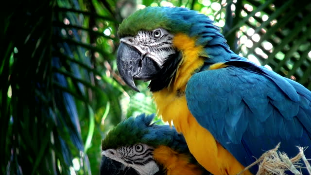 blue macaw - grooming stock videos & royalty-free footage