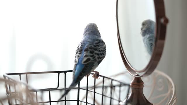 blauer männlicher wellensittich schaut sich im spiegel an - sittich / wellensittich mit wellensittich-sound - audio available stock-videos und b-roll-filmmaterial
