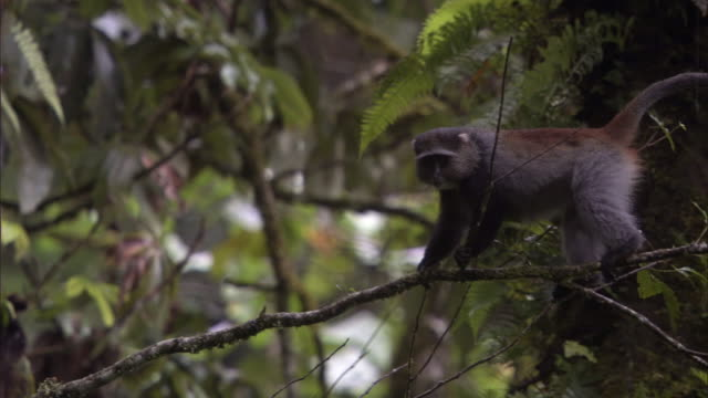 blue monkey (cercopithecus mitis) clambers in rainforest, mount rungwe, tanzania - blue monkey stock videos & royalty-free footage