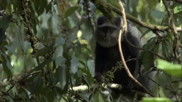 blue monkey (cercopithecus mitis) feeds in rainforest, mount rungwe, tanzania - blue monkey stock videos & royalty-free footage