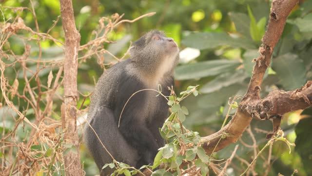 blue monkey - blue monkey stock videos & royalty-free footage