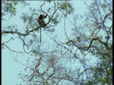 Blue Monkey walks along branch which snaps, monkey lands in tree below, Gombe National Park, Tanzania