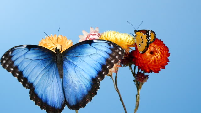 blue morpho butterfly and yellow tiger butterfly on flowers - farfalla video stock e b–roll