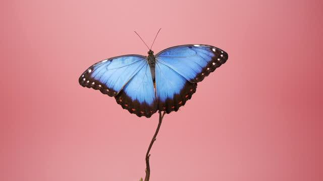 vidéos et rushes de papillon bleu de morpho sur la fleur au-dessus du fond rose - papillon