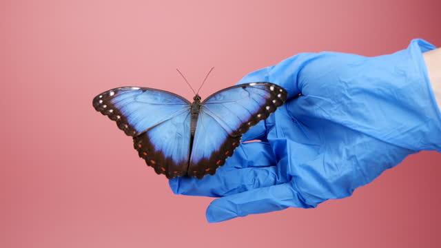 vídeos de stock, filmes e b-roll de borboleta de morfo azul na mão em luva protetora - parte do corpo animal