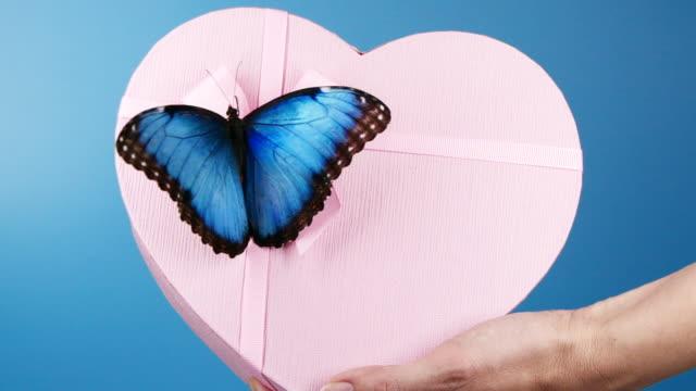 vidéos et rushes de papillon morpho bleu sur la boîte actuelle - aile d'animal