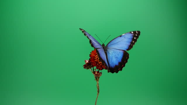blue morpho butterfly on red flower - butterfly stock videos & royalty-free footage