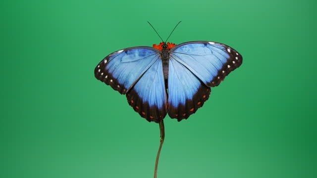 blue morpho butterfly on red flower - animal wing stock videos & royalty-free footage
