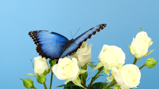 blue morpho butterfly on white roses - farfalla video stock e b–roll