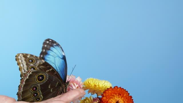 stockvideo's en b-roll-footage met blauwe morphovlinder op de hand van de vrouw - vlinder