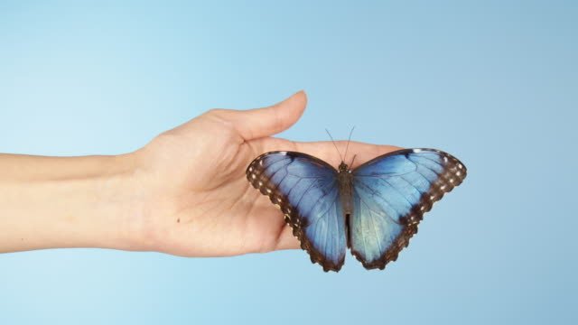 blue morpho butterfly on woman's hand - blue background stock videos & royalty-free footage