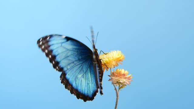 blue morpho butterfly on yellow flower - clima tropicale video stock e b–roll