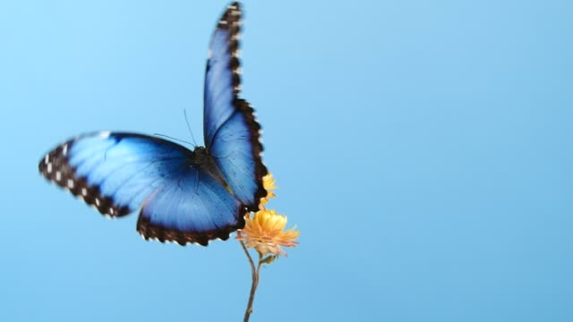 blue morpho butterfly on yellow flower - farfalla video stock e b–roll