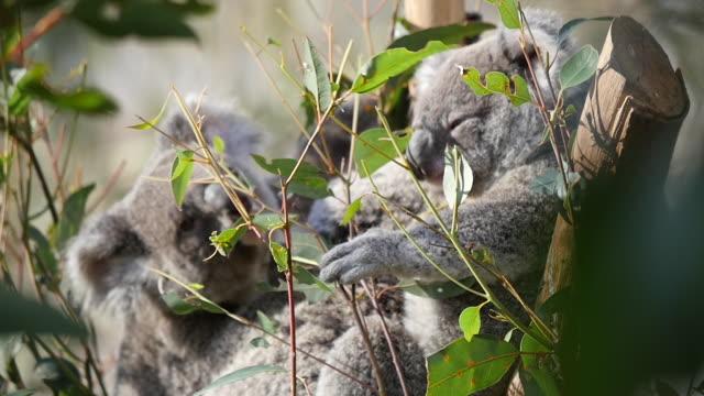 vídeos de stock, filmes e b-roll de blue mountain wild life. - marsupial
