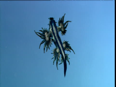 blue ocean sea slug at water surface - nudibranch stock videos & royalty-free footage
