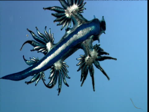 Blue ocean sea slug at water surface
