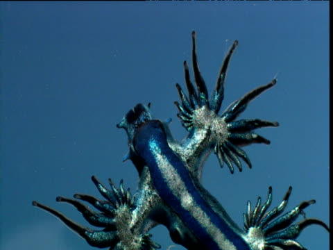 Blue ocean sea slug in water