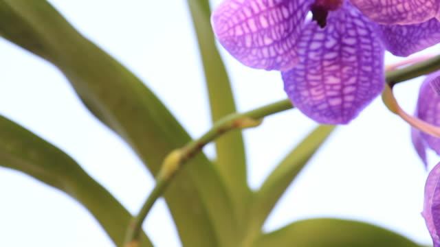 vídeos y material grabado en eventos de stock de azul orchid - pistilo