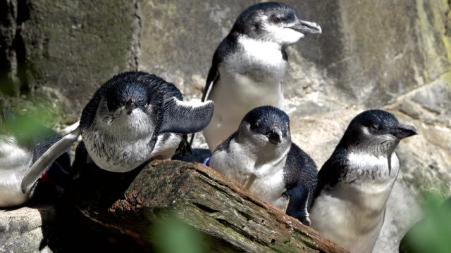 blue penguins - endangered species stock videos & royalty-free footage