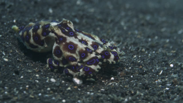 blue ringed octopus (hapalochlaena) changes colour as fish attacks it, sulawesi, indonesia - seabed stock videos & royalty-free footage