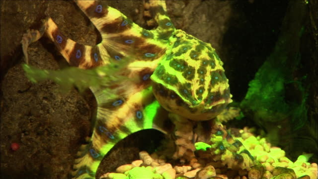 ms zi zo blue ringed octopus crawling, melbourne, victoria, australia - animals in captivity stock videos & royalty-free footage