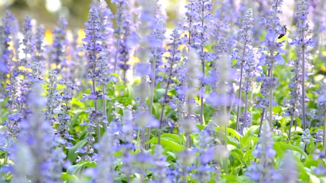 blue salvia and bee - motivo floreale video stock e b–roll