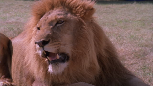 Blue screen close up pan and zoom in of a lion lying on the grass roaring/yawning