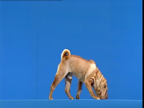 vidéos et rushes de blue screen with rottweiler. - sentir