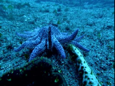 A blue sea star follows two sea cucumbers along the ocean floor.