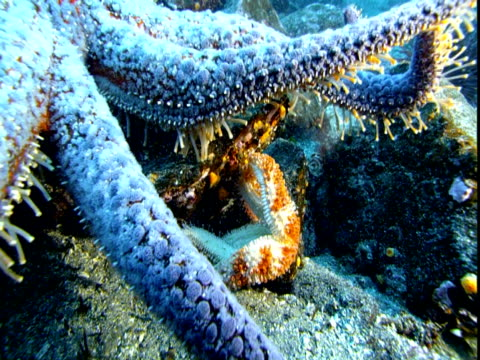 A blue sea star hovers over an orange starfish.