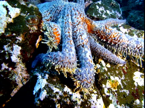 A blue sea star investigates the ocean floor with its spidery arms.