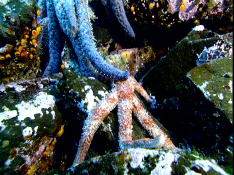 A blue sea star rests its arms over an orange sea star.