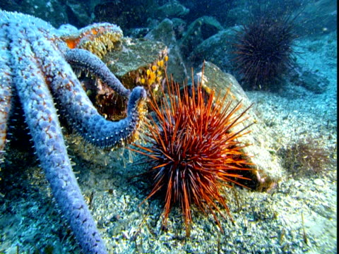 A blue sea star touches the spiny body of a sea urchin.