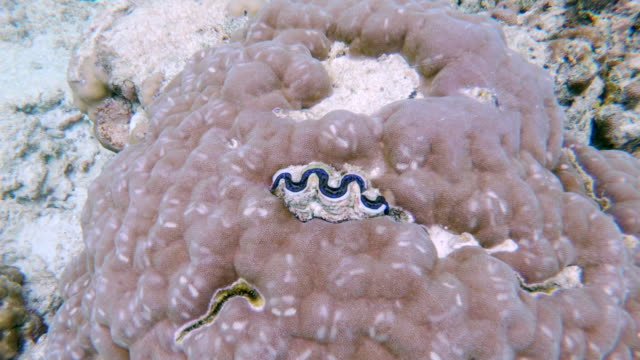 blue seashell opening and closing in a coral reef, maldives - seashell stock videos & royalty-free footage