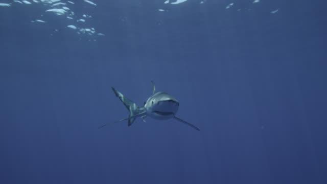 blue shark bumps into camera in blue ocean, azores - pelagic zone stock videos & royalty-free footage