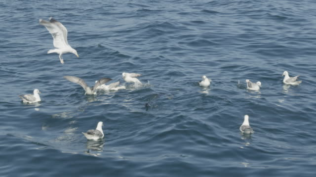 vídeos de stock e filmes b-roll de blue shark fin appearing amongst group of gulls - barbatana parte do corpo animal