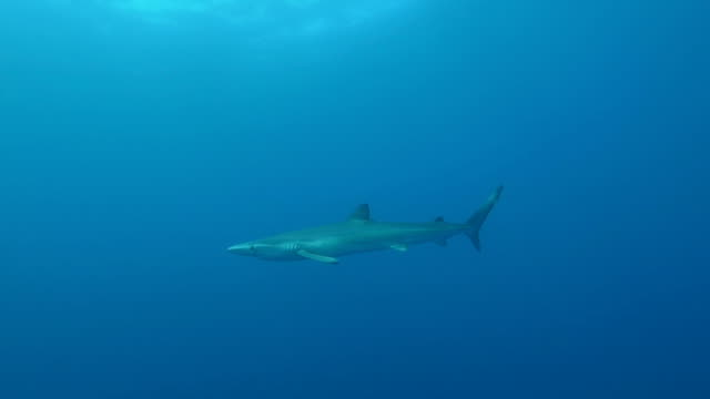 blue shark in the open ocean - one animal stock videos & royalty-free footage